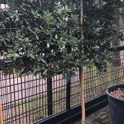 Holm oak Pleached Tree