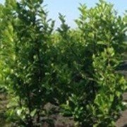 Laurel hedging