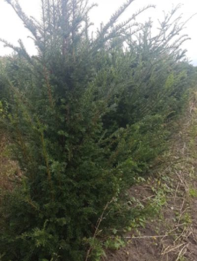 Taxus hedging 180-200 cm tall (3)