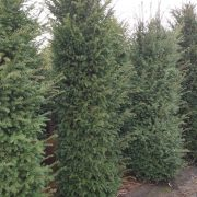 Yew 300 cm 60 cm wide